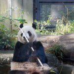 知られざるパンダの秘密!?実は指が6本?7本?