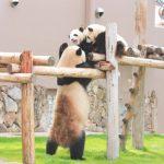 パンダの赤ちゃんが見られる日が近づいてきました!(^o^)