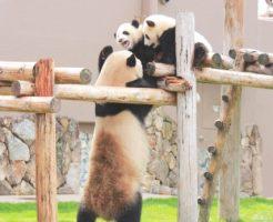 パンダ家族