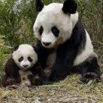 パンダの赤ちゃんの妊娠可能性が大のニュースが!今後の行方を見守りましょう♫
