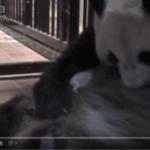 【パンダ情報】パンダの赤ちゃんは順調に育ち、株価急騰!キャンペーンラッシュ!上野周辺が盛り上がってきました!