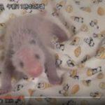 【パンダ情報】上野動物園の赤ちゃんパンダの性別がついに判明!