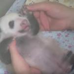 【パンダ情報】パンダの赤ちゃん生後1ヶ月を迎え順調に育っています!記念にパンダ情報まとめサイト作成しました(^ ^)