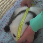 【パンダ情報】パンダの赤ちゃん生後50日、両目を開きハイハイも見られます!そして微妙なパンダも。。。