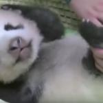 【パンダ情報】赤ちゃんパンダ生後70日で目がぼんやりと見えて来ました❗️👀そして衝撃のニュースも・・・