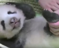 パンダの赤ちゃん生後70日