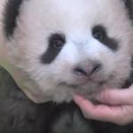 【パンダ情報】パンダの赤ちゃんの名前は未決定!?上野の新ランドマークの名前は決定!!