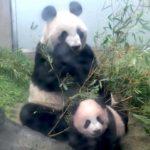 【パンダ情報】赤ちゃんパンダのシャンシャンと新観光地のアンケート実施!結果は・・・!?